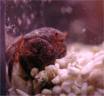 Crabe typique arrivant avec les pierres vivantes, en général herbivore ... tant qu'il y a des algues à manger