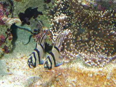 Pterapogon kauderni et anémones …